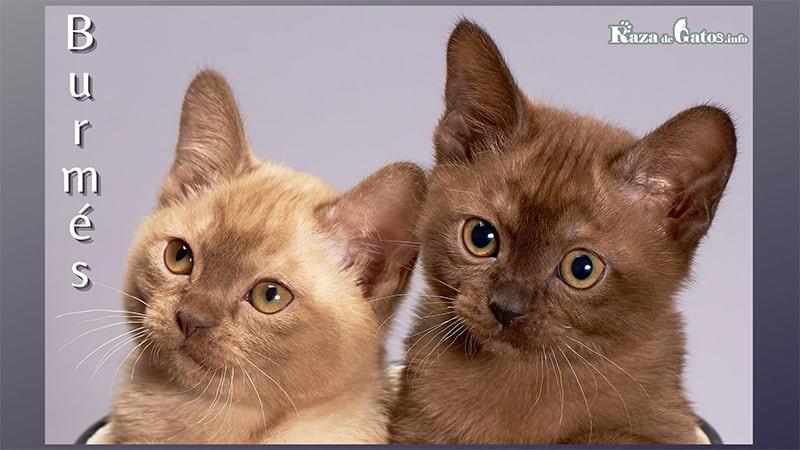Fotito de 2 gatitos Burmes. Burmese cat.
