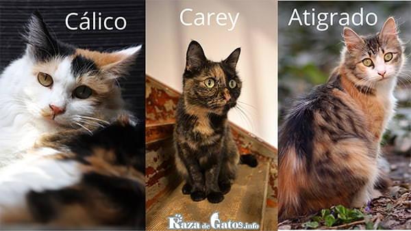 Foto de gatos tricolor. De izquierda a derecha, (Cálico, Carey y Atigrado).