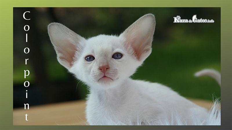 El gato Colorpoint de pelo corto posando para la foto. Colorpoint Shorthair.