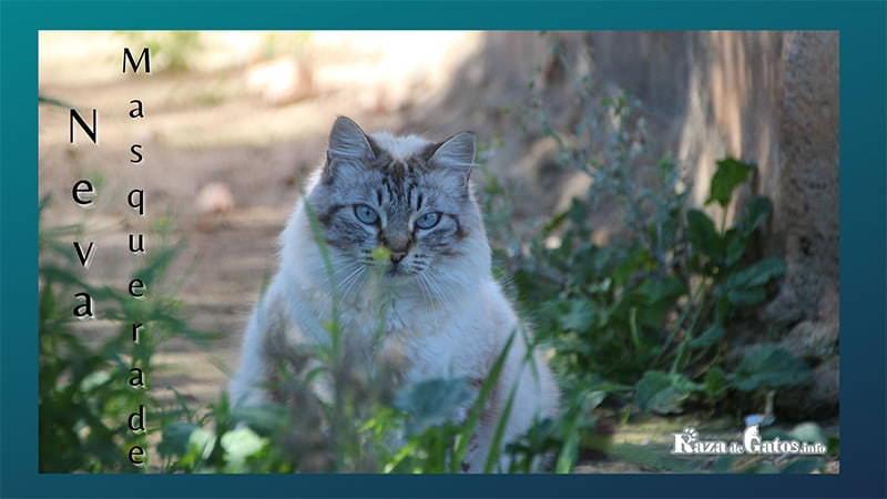 Fotografía del gato Neva Masquerade. Versión point del gato siberiano.