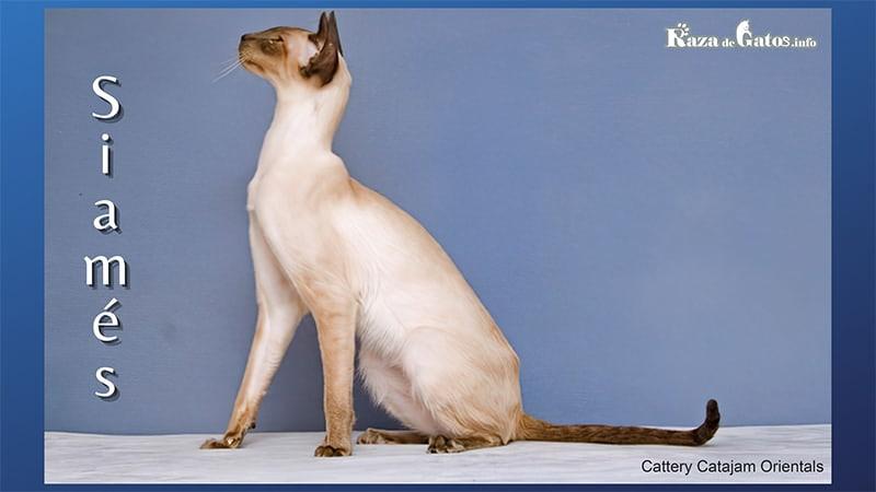 Imagen del Gatito siames. Tambien llamado por su nombre siames moderno.