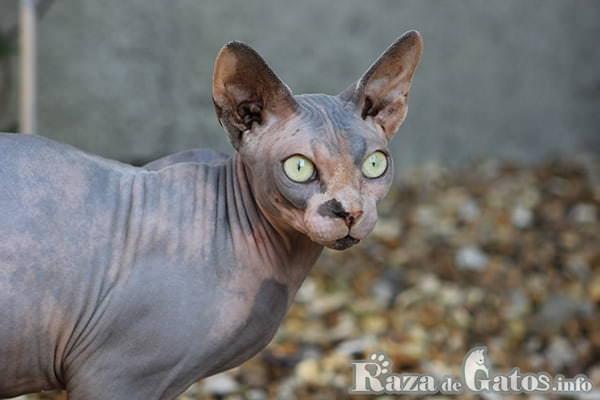 Foto del gatito esfinge o sphynx.