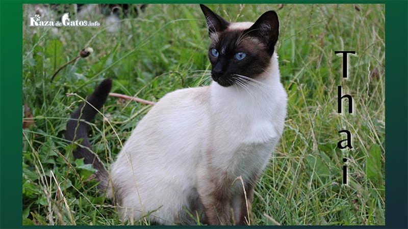 Imagen del gato Tailandes. Thai. O tambien llamado siames tradicional.