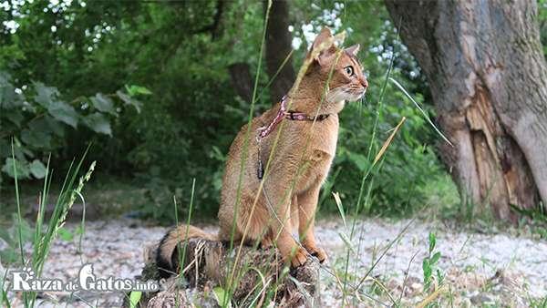Gato Abisinio con una correa.