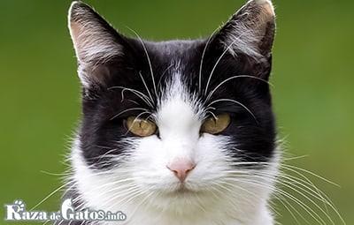 Gato Aegean (Gato Egeo)