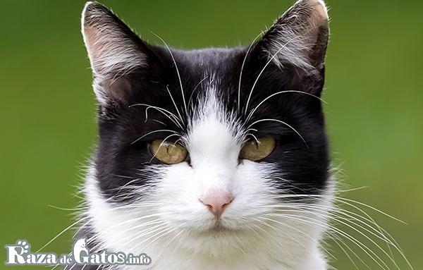 Imágen de la cara del gato Aegean. También conocido como el gato Egeo.