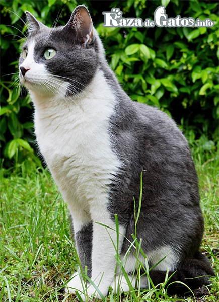 foto del gato Egeo en el parque. Gato Aegean