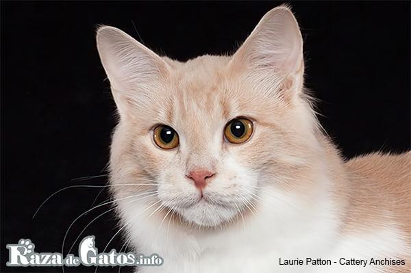 Imágen de la cara del gatito Afrodita gigante. También conocido como gato de Chipre o Gigante de Afrodita.