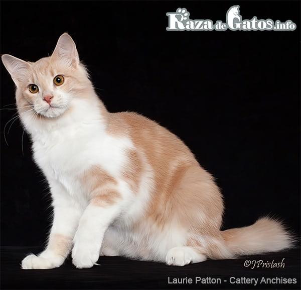 Foto del gato Afrodita Gigante o (Aphrodite Giant cat) en ingles.
