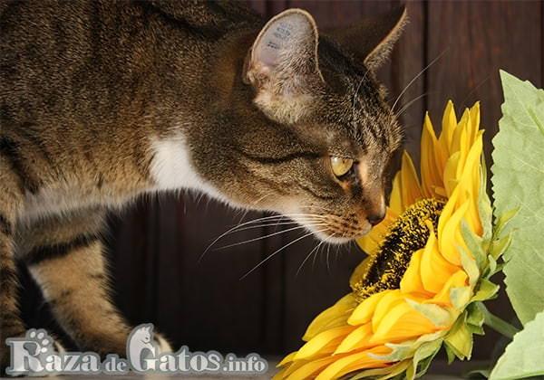 Fotografía Gato respirando una flor de girasol . Enfermedades más comunes de los gatos.