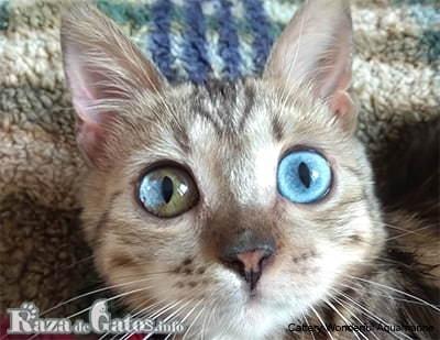 El Gato Altai ojos azules