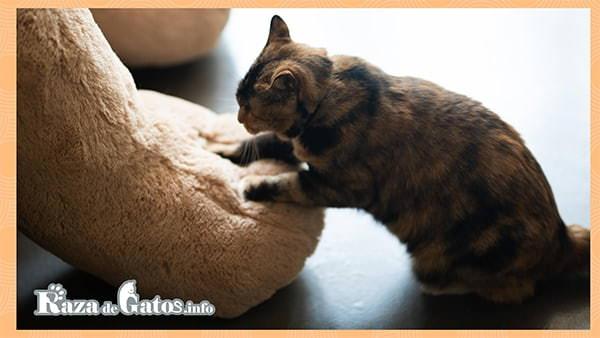 Gato amasando. Las patas de los gatos ¿Qué características tienen?