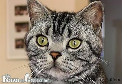 Foto de la cara del gato americano de pelo corto.