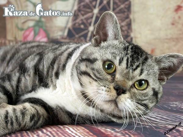 Imagen del gato Americano de pelo áspero o pelo duro. American wirehair.