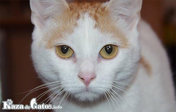 Imágen de la cara del gato Anatoli. Gato turco de pelo corto.