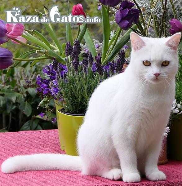 Foto del gato Anatoli en el exterior del hogar. También conocido como el gato Turco de pelo corto.