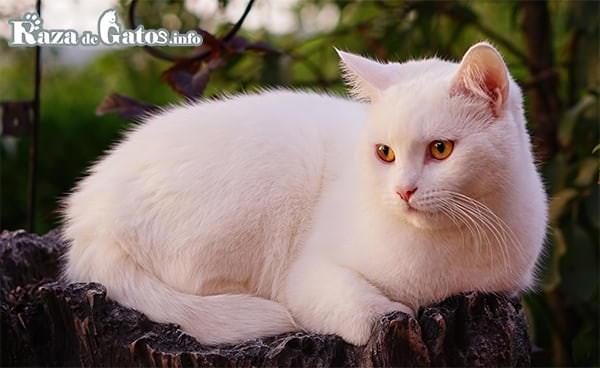 imágen del Gato turco de pelo corto acostado. Raza de gato Anatoli.
