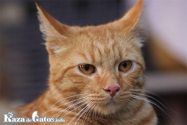 Imágen de la cara del gatito Mau árabe. Arabian mau cat.