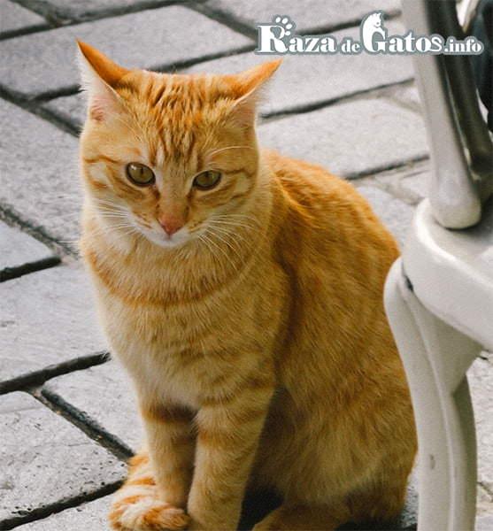 foto del gato Mau arabe sentado. Arabian mau.