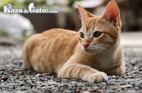 imágen del Arabian mau cat. El gato Mau Arabe.