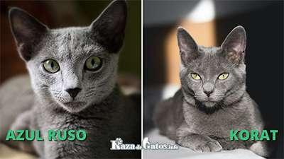 Diferencias entre el gato Azul Ruso y el gato Korat