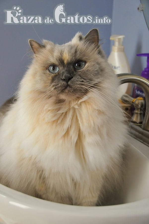 Gato esperando en pileta para ser bañado. Una gran practica en la limpieza e higiene de tu gato/a
