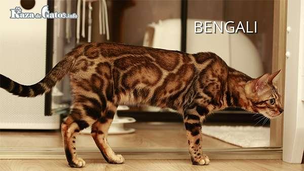 El Gato BengalÍ - También llamado Gato de bengala