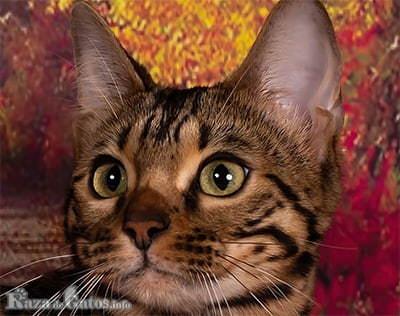 Foto de la cara del gato Bengalí.
