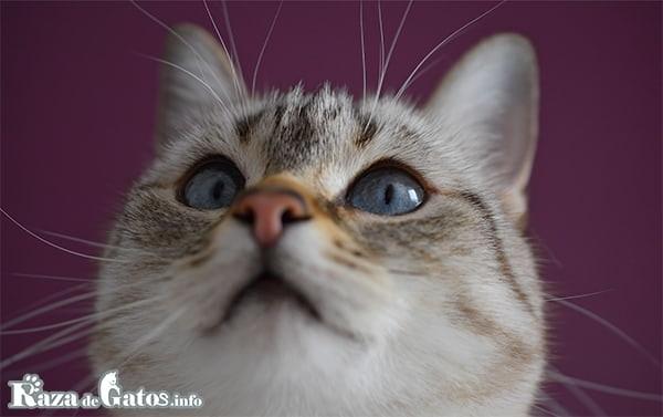 Imagen de un gato en primer plano enseñando sus bigotes. Función de los bigotes del gato.