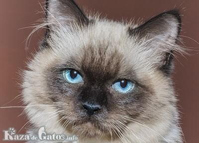 Foto del gato Sagrado de Birmania o gato Birmano.
