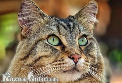 Cara del gato bobtail americano