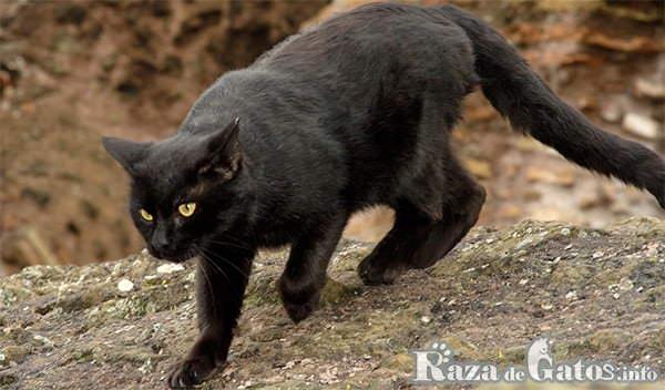 Foto de la Raza de gatos Bombay – Gatos más cariñosos del mundo.