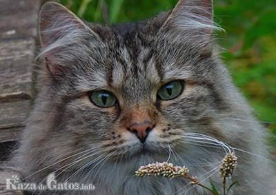 Foto de la cara del gato bosque de noruega.