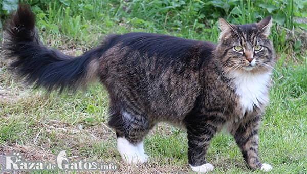Image de la Raza de gato Bosque de Noruega. Los 7 Gatos más cariñosos del planeta.