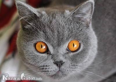 Foto de la cara del gato Británico.