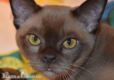 Foto de la Cara del gato burmes