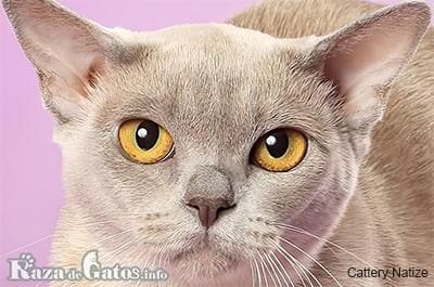 Foto de la cara del gato Burmés Europeo.