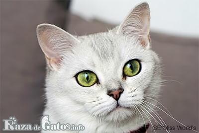 Foto de la cara del gato burmilla