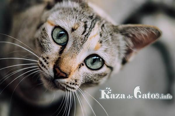 Fotografía de gato en donde se ven todos sus razgos faciales. Curiosidades gatunas.