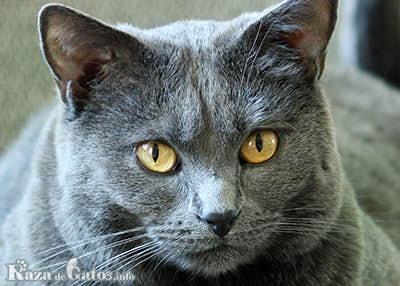 Foto de la cara del gato Chartreux.