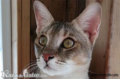 Foto de la cara del gato Chausie