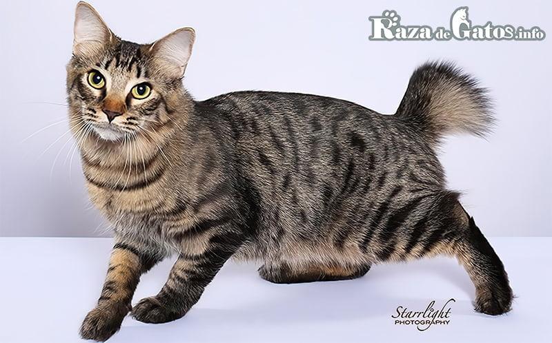 Fotografía del gato Bobtail Americano (American bobtail cat en ingles).