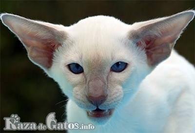 Foto de la cara del gato colorpoint de pelo corto.