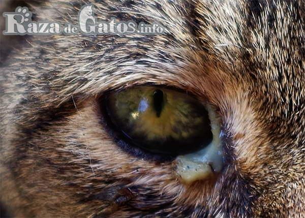 Ojo de gato con conjuntivitis. Foto para enfermedades en los gatos más comunes.