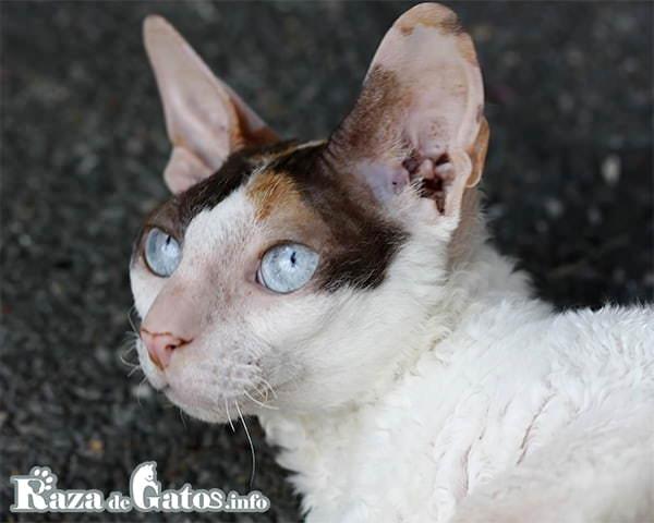IMAGEN DEL GATO CORNISH REX. Gato de pelo rizado. Razas de gatos con rulos.