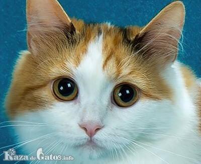 Foto de la cara del gato Cymric de cola corta.