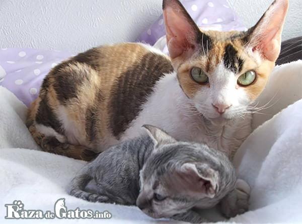 Imagen de 2 gatitos devon rex. Todos los gatos de pelo rizado.