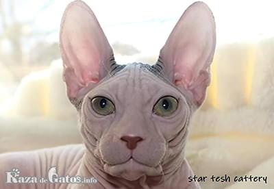 Foto de la cara del gato Don Sphynx o Donskoy.