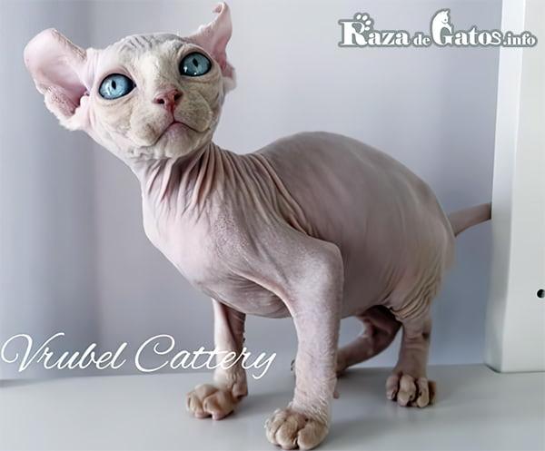 Imagen del gato Dwelf. Gato enano.