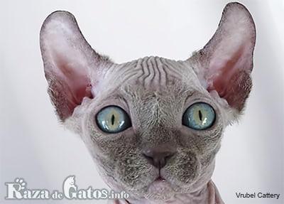 Foto del gato Dwelf